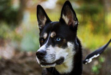 Husky Trappeur