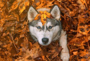 husky automne
